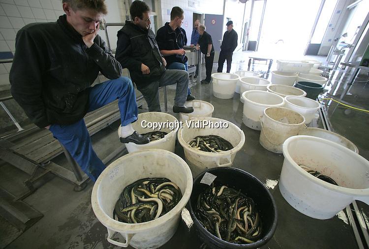 Foto: VidiPhoto..URK - Op Urk is vrijdagmiddag zo'n 1500 pond IJsselmeerpaling aangevoerd als begin van het nieuwe palingseizoen. Door de koude sanering vissen nog maar vijf Urker kotters op het IJsselmeer. Desondanks zien vissers de palingstand zienderogen achteruit gaan. Oorzaak is volgens hen de vangst van jonge aaltjes in Zuid-Europa voor de viskweek.
