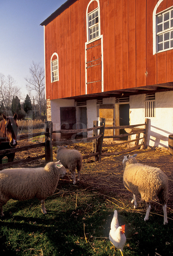 AJ3275, sheep, Daniel Boone Birthplace, Pennsylvania, Sheep, chicken and horse outside red barn at Daniel Boone Homestead in Birdsboro in the state of Pennsylvania.