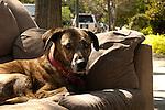 Dog in sofa by the sidewalk