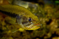 Largemouth bass, Micropterus salmoides (c)