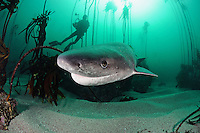 qm79348-D. Broadnose Sevengill Shark (Notorhynchus cepedianus). South Africa..Photo Copyright © Brandon Cole. All rights reserved worldwide.  www.brandoncole.com..This photo is NOT free. It is NOT in the public domain. This photo is a Copyrighted Work, registered with the US Copyright Office. .Rights to reproduction of photograph granted only upon payment in full of agreed upon licensing fee. Any use of this photo prior to such payment is an infringement of copyright and punishable by fines up to  $150,000 USD...Brandon Cole.MARINE PHOTOGRAPHY.http://www.brandoncole.com.email: brandoncole@msn.com.4917 N. Boeing Rd..Spokane Valley, WA  99206  USA.tel: 509-535-3489