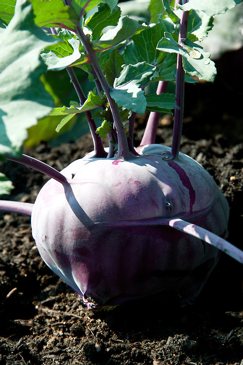 Purple kohl rabi 'Kolibri', early July.