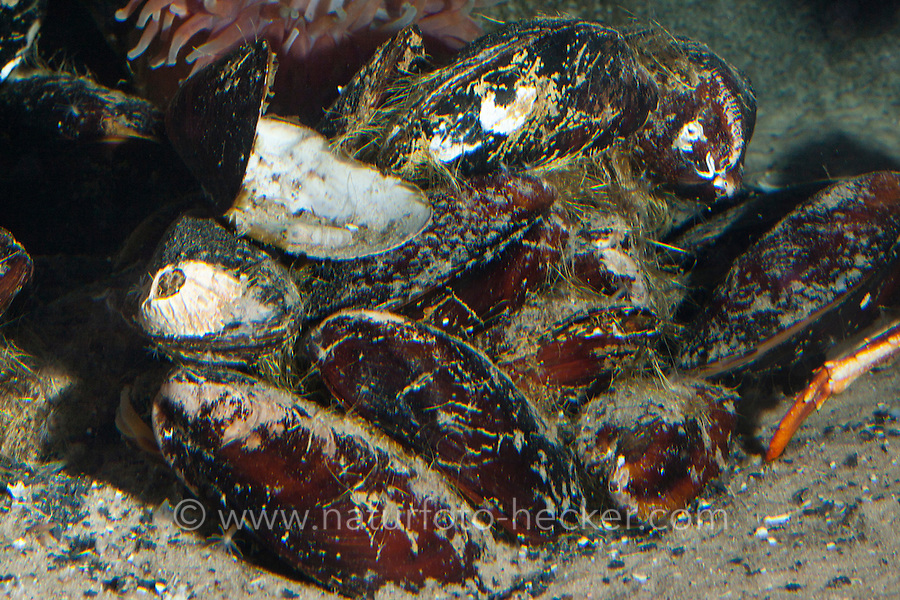 Pferdemuschel, Große Miesmuschel, Modiolus modiolus, Modiola gigantea, northern horsemussel, horse-mussel, horse mussel