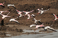 Stock photo: Flock of lesser flamingos in flight taking off from a wetland at Khijadiya Bird Sanctuary, Gujarat India. Image is available for Editorial/Non-commercial Use Only.<br />