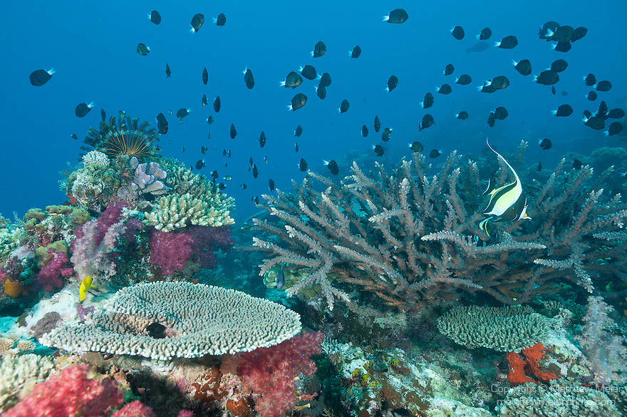 Rainbow Reef, Somosomo Strait, Fiji; a large school of Blue-axil Chromis and a pair of Moorish Idol fish swimming over the coral reef