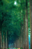 Rows of trees along road in Damme, Belgium.