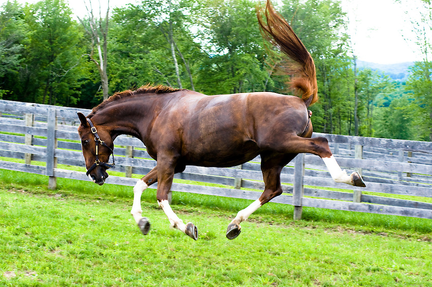 A horse playing in a field at a barn in Brewster, New York.