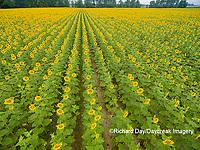 63801-11311 Sunflower field-aerial Jasper Co.  IL