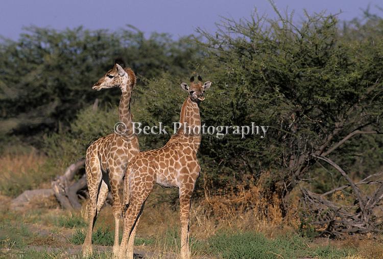 Giraffe at Savuti Camp