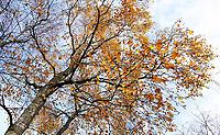 Nederland Schoorl - 2019 .  Berk in herfstkleuren.    Foto Berlinda van Dam / Hollandse Hoogte