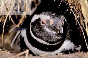 Magellanic Penguin in its nest burrow ,Spheniscus magellanicus,, Falkland Islands.