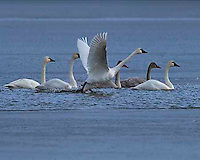 As their name implies, the Tundra Swan breeds in the Arctic and subarctic tundra. Like the other Arctic swans, they are migratory birds and can only be found in Yellowstone during the spring or fall migratory seasons. They are smaller than their Trumpeter cousins and have a distinct yellow marking at the base of their bills. According to National Geographic, when migrating these birds can fly at altitudes of nearly 27,000 ft. Swan Lake, Yellowstone.