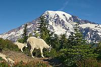 Mountain Goats (Oreamnos americanus)--nanny with several month old kid.  Mount Rainier National Park, Washington.  Summer.