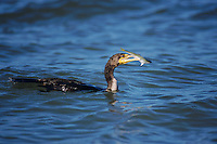 Double-crested Cormorant, Phalacrocorax auritus,adult swimming with fish, Sanibel Island, Florida, USA