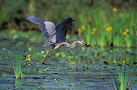 Great Blue Heron in flight carrying brown catfish/bullhead. Predator/prey. British Columbia, Canada.  (Ardea herodias).