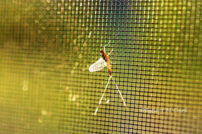 Mayfly on screen