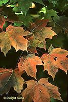 AU17-001t  Maple leaves - Acer spp. - autumn