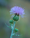 A purple Canadian Thistle; a flowering perennial weed.