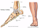 Anatomy of the Lower Leg and Foot