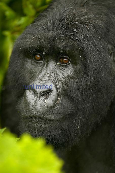 Young male Mountain Gorilla face ,Gorilla gorilla beringei, in Volcanoes National Park, Rwanda, Africa.