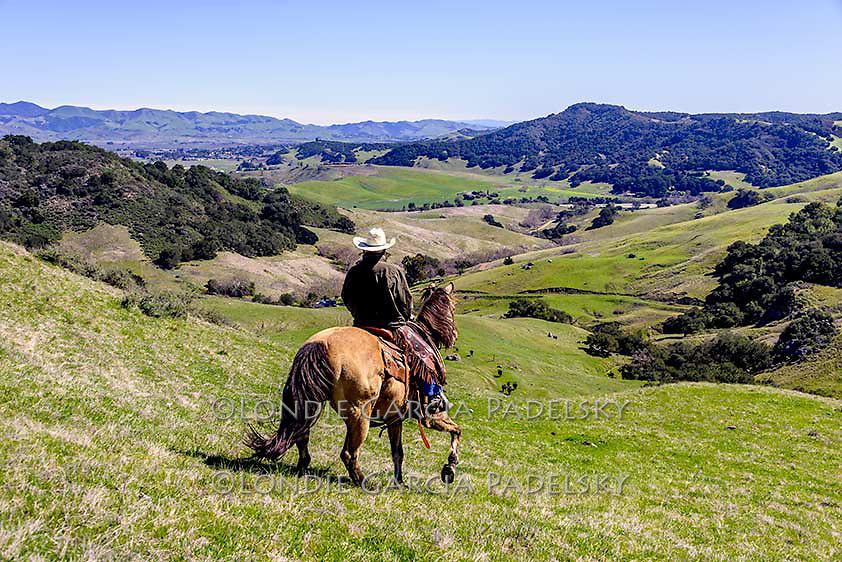 Cowboy riding horseback down steep hillside. Cattle roundup in San Luis Obispo, California (Roy Garcia)