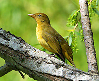 Adult female summer tanager in willow tree
