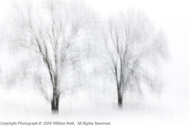 Two Oaks in snow, Sierra Nevada foothills, California