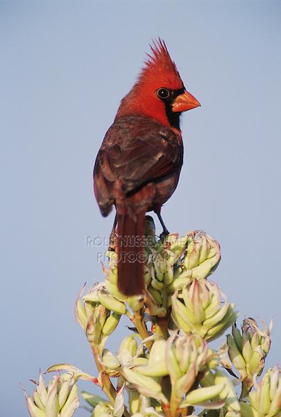 Northern Cardinal, Cardinalis cardinalis,male on blooming Trecul Yucca (Yucca treculeana), Lake Corpus Christi, Texas, USA