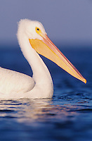 American White Pelican, Pelecanus erythrorhynchos, adult, Rockport, Texas, USA, December 2003