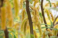 Prosopis 'Phoenix' - Thornless South American Hybrid Mesquite flowering catkins, Tree of Life Nursery
