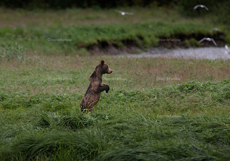 "A young juvenile grizzly bear likely on his own for the first year frolics and fishes for salmon at Pack Creek on Admiralty Island.  Pack Creek runs through an open intertidal meadow before spilling into the ocean. It has the highest concentration of grizzly bear in all of Southeast..Biologists have estimated that the Alaska Grizzly population is holding strong at about 40,000 individuals, about 40 times the number in the rest of the United States...Grizzlies, called ""brown bears"" when they live near the coast, are wild creatures. But seasonal feeding patterns make it possible for relatively predictable viewing possibilities. Particularly in regard to coastal brown bears, which depend on the annual salmon runs as a mainstay for their diets."