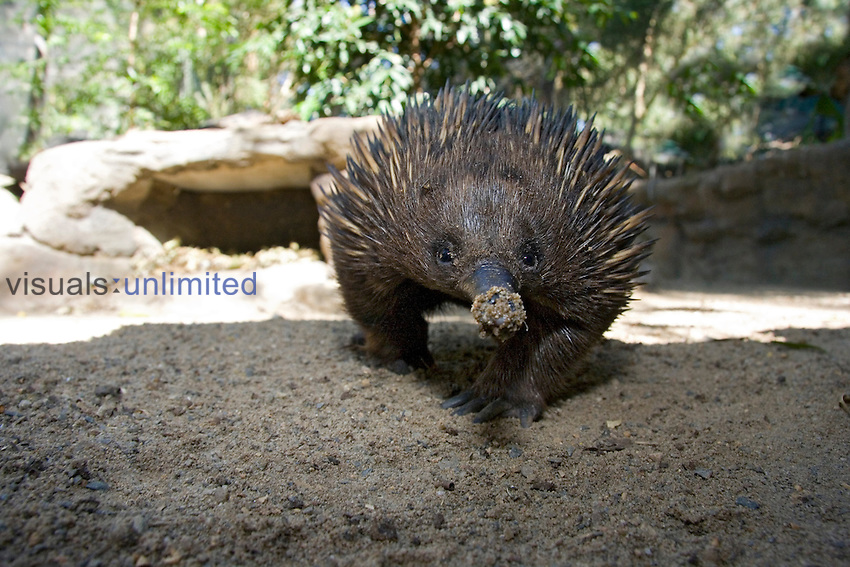 The Short-beaked Echidna (Tachyglossus aculeatus) is one of three species of egg laying mammals, Australia.