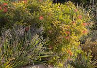 Grevillea 'Superb' flowering  in shrub border in California summer-dry garden with Australian plants including Dianella 'Casa Blue'; design Jo O'Connell