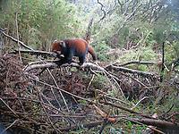 Red Panda (Ailurus fulgens) captured in Shen Guo Zhuang NR, Sichuan.<br /> &copy; WWF / Peking University