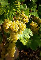 Deutschland, Baden-Wuerttemberg, Ortenaukreis: Weinreben | Germany, Baden-Wurttemberg, Ortenau district: grapes