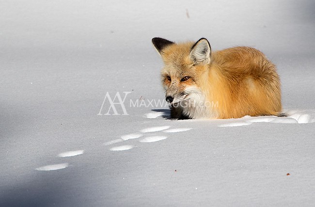 February of 2016 was an incredible time for fox activity in Yellowstone.  I saw multiple foxes on most days, sometimes as many as seven individuals.