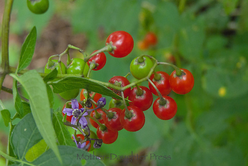 Purple flower and red berries of nightshade, Solanaceae, plant