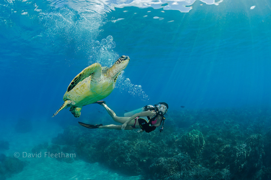 Green sea turtle, Chelonia mydas, and diver (MR).  Hawaii.