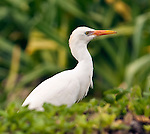 A cattle egret (Bubulcus ibis) spotted at the Kilauea Point National Wildlife Refuge, Kauai, Hawaii