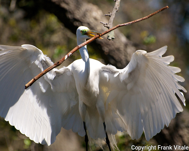 Great Egret in Florida with a big stick!