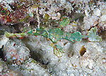 The Halimeda ghost pipefish  (Solenostomus halimeda) found at night near Halimeda coralline algae beds, Solomon Islands