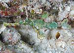 The Halimeda ghost pipefish  (Solenostomus halimeda) found at night near Halimeda coralline algae beds, Solomon Islands