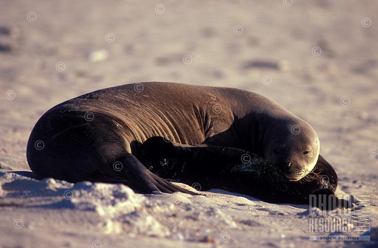 Hawaiian Monk Seals, mother and pups, Laysan I.