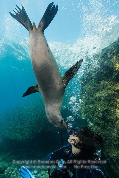 QT0306-D.  California Sea Lion (Zalophus californianus) interacting with scuba diver (model released), biting diver's exhaled bubbles. Baja, Mexico, Sea of Cortez, Pacific Ocean.<br /> Photo Copyright &copy; Brandon Cole. All rights reserved worldwide.  www.brandoncole.com