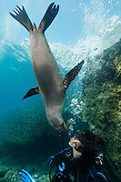QT0306-D.  California Sea Lion (Zalophus californianus) interacting with scuba diver (model released), biting diver's exhaled bubbles. Baja, Mexico, Sea of Cortez, Pacific Ocean.<br /> Photo Copyright &copy; Brandon Cole. All rights reserved worldwide.  www.brandoncole.com