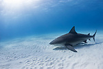 Tiger Beach, Grand Bahama Island, Bahamas; a bull shark swimming over the shallow sandy bottom with sun rays streaming in from above