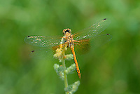 362700037 juvenile male band-winged meadowhawk sympetrum semicintum wild california