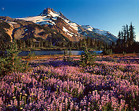 Mt Jefferson with field of lupine on shore of Russell Lake in Mt Jefferson Wilderenss, Oregon