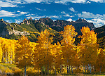Aspens, Populus Tremula, Cimmaron Ridge, Precipice Peak, Uncompahgre National Forest, Colorado