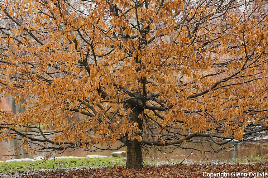 Last year leaves cling to a tree on a misty spring day at Canatara Park .